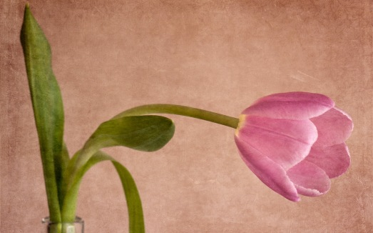 mother-s-day-beautiful-flower-sad-tulip_2560x1600_97332